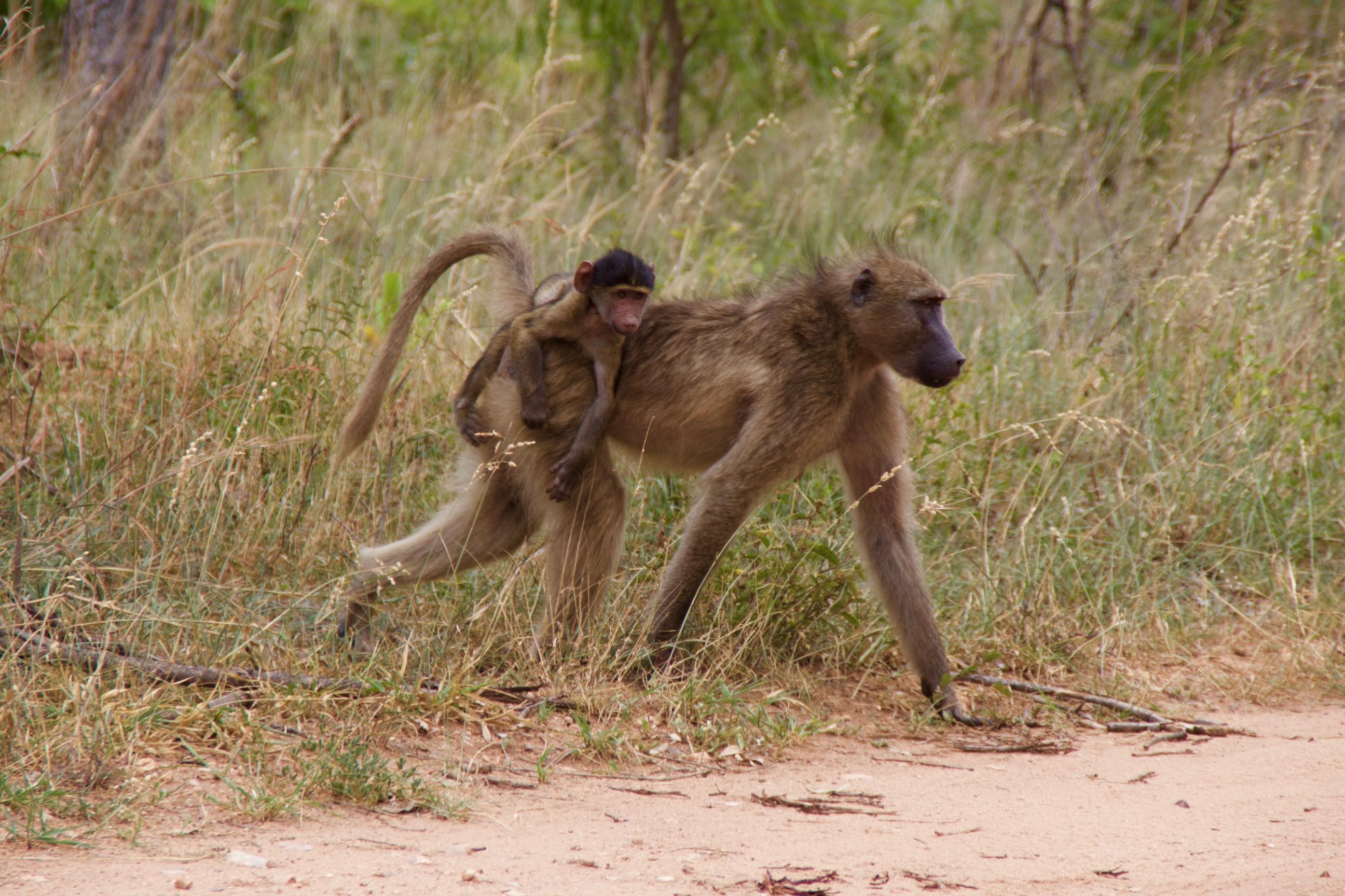 Hakuna matata cinq jours dans le parc kruger our own way - Animaux du roi lion ...