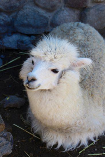 Notre premier Alpaga