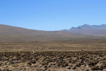 La pampa désertique et des vigognes sauvages